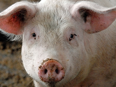 Фермер погиб, подравшись со своей свиньей