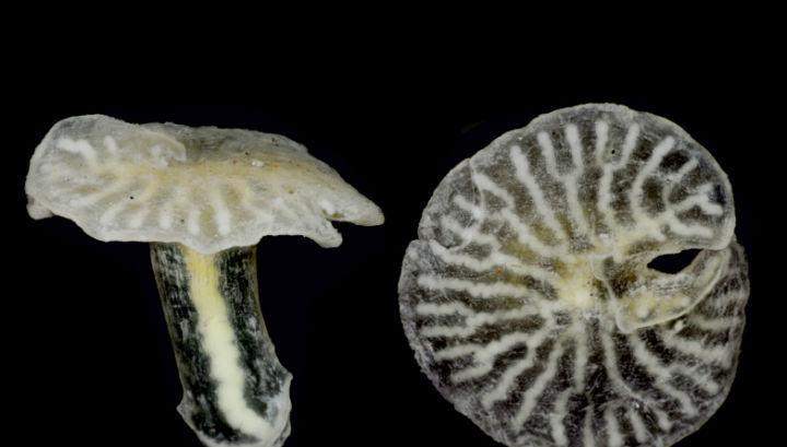 морские грибы фото