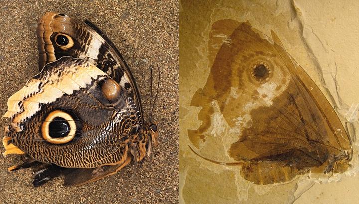 Палеонтологи обнаружили останки древнего насекомого — двойника современной бабочки