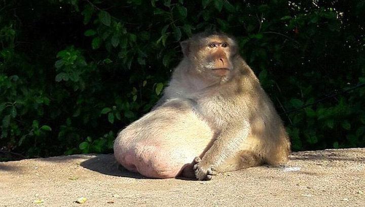 В Таиланде слишком толстую макаку отправят в тренировочный лагерь