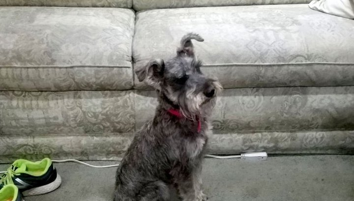 Собака умерла, сбегав за палкой 20 раз за вечер