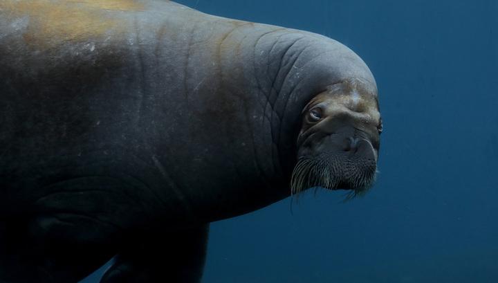На Аляске в давке погибли несколько десятков моржей