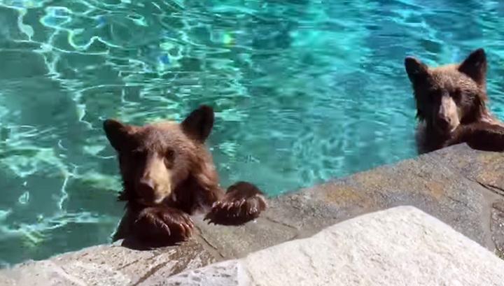 Медвежья семья искупалась в бассейне. Видео