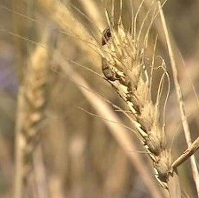 Россия может стать крупнейшим экспортером пшеницы
