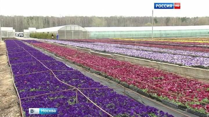 Рассада цветов совхоз московский цены 11