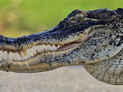 Сына Кличко в США покусал крокодил