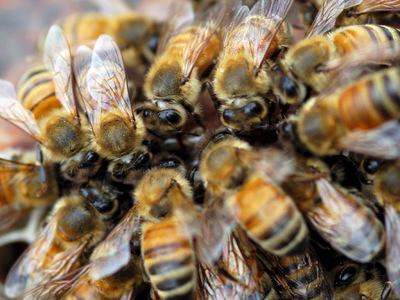 Полчища пчел заполонили центр Лондона