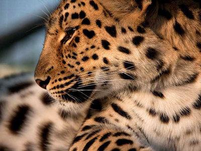 В Приморье сняли на видео любовные приключения двух леопардов