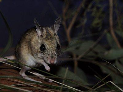 Краснокнижные мыши оказались любимым лакомством австралийских сомов