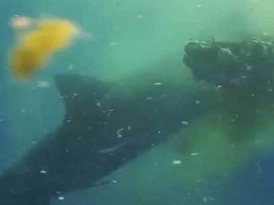 Тигровая акула съела корову посреди океана. Видео