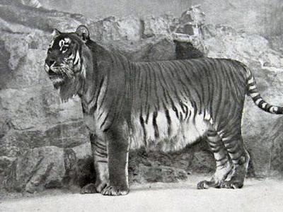 Вымерших туранских тигров вернут в Азию