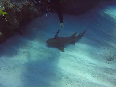 Акула попросила дайвера вытащить из нее нож. Видео