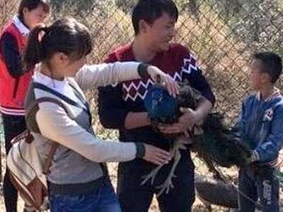 Китайцы в зоопарке оборвали павлинам хвосты