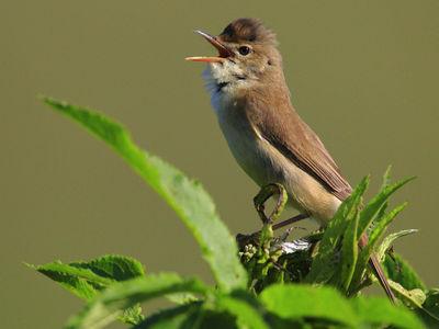 """Птицы меняют характер пения, чтобы """"перекричать"""" транспортный шум"""