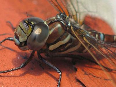 Самки стрекоз притворяются мёртвыми, чтобы избавиться от женихов