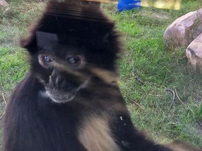 Ягуар сбежал из клетки и напал на обезьяну