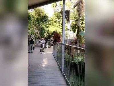Орангутанг сбежал из вольера, чтобы спасти сына