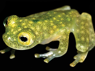 Биологи рассказали о новом виде лягушек с прозрачной кожей