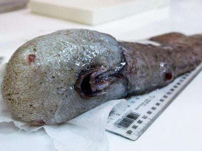 У побережья Австралии поймали считавшуюся вымершей рыбу без лица