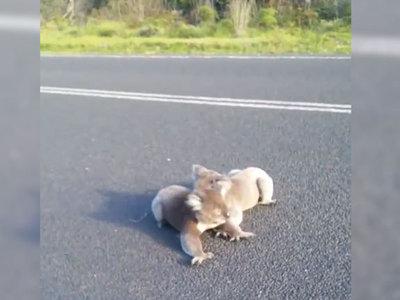 Подравшиеся на дороге коалы чуть не попали под машину. Видео