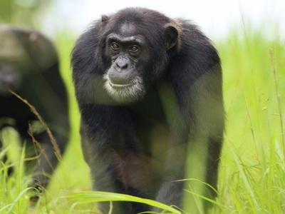 """""""Сверхсилу"""" шимпанзе перемерили, сравнили с человеческой и понизили в статусе"""