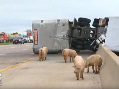 Свиньи разбежались по шоссе после аварии грузовика. Видео