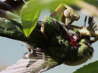 Богомолы оказались любителями птичьих мозгов
