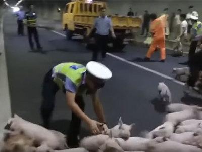 Сотни поросят разбежались по автомобильному тоннелю после ДТП. Видео