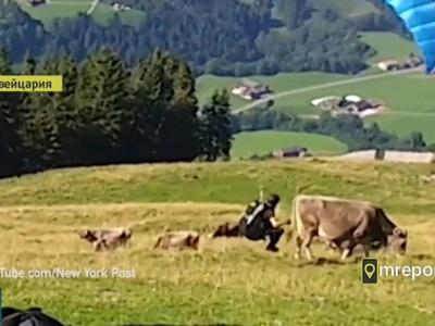 Парапланерист при взлете столкнулся с коровой. Видео