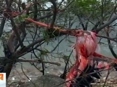 "Сотни розовых фламинго погибли на Кубе из-за урагана ""Ирма"""