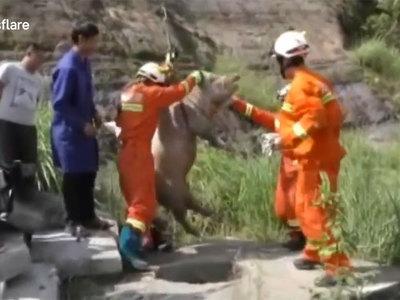 В Китае из канализации извлекли 150-килограммовую свинью