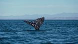 Хвост серого кита, заснятый в Нижней Калифорнии, Мексика