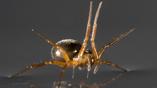 Паук-линифиид занимается парусным спортом с помощью своих лап