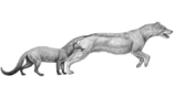 Два ранних предка псовых – представители родов Hesperocyon и Sunkahetanka. Оба были хищниками, предпочитавшими охотиться из засады. Климатические изменения поменяли их среду обитания, что побудило собак стать активными охотниками