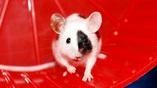 Выброс адреналина при нагрузках заставляет клетки иммунной системы действовать быстрее