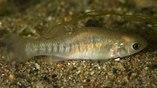 Благодаря генетическому разнообразию, карпозубые способны быстро приспосабливаться к меняющейся среде обитания, в том числе к воздействию токсинов, смертельных для большинства других рыб.