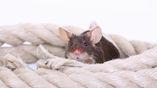 Если хотите понять счастлива ли крыса, то присмотритесь к её ушам, советуют зоологи.