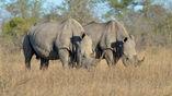 Исследователи выяснили, куда направляются белые носороги, чтобы узнать последние новости.