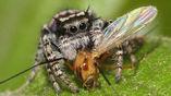 Паук-скакун Phidippus mystaceus кормится пойманной добычей.