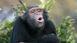 Возможно, некие погребальные ритуалы присутствуют и у шимпанзе.