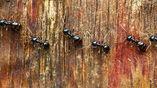 На каждого паразита найдётся свой паразит. Муравьи Lasius fuliginosus, выживающие других насекомых из насиженных гнёзд, сами страдают от разбоя.