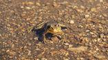 Лягушка вида Rana muscosa.