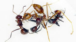 """Специалисты уверены, что в вопросе самопожертвования """"взрывающимся"""" муравьям нет равных."""