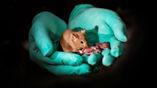 Благодаря технологии редактирования генов и стволовым клеткам эта взрослая мышь имеет гены от двух самок. Она выросла достаточно здоровой, чтобы иметь собственное потомство.