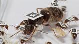 Под угрозой эпидемии как больные, так и здоровые муравьи изменяют своё поведение, чтобы колония понесла как можно меньше потерь.