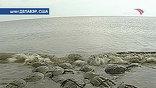 Точно миниатюрные танки мечехвосты выходят из воды на пляжи штата Делавэр. Это место романтических свиданий: раз в год в полнолуние они оставляют здесь тонны икры и возвращаются в море