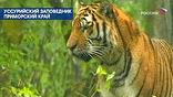 Ученые из Российской академии наук начинают уникальную операцию - они нашли новый способ бороться с исчезновением амурских тигров