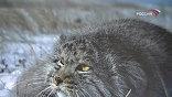 Это такие далеко не безобидные дикие кошки, занесенные в Красную Книгу
