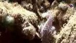 Пеструю обитательницу морей ученые отнесли к семейству жаберных, виду морская мышь