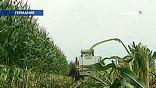 В Германии больше не будут выращивать генно-модифицированную кукурузу